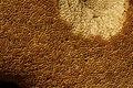 Bolet roux 13.jpg