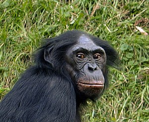 Head of a Bonobo (Pan paniscus)