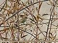 Booted Warbler (Iduna caligata) (23508668682).jpg