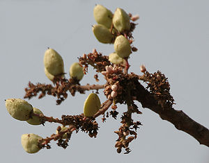 Indian frankincense  Boswellia Serrata