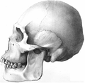 Botocudo American Indian Mongoloid skull.png