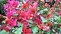Bougainvillea glabra of Bangladesh 26.jpg