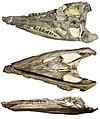 Brachauchenius lucasi skull.jpg