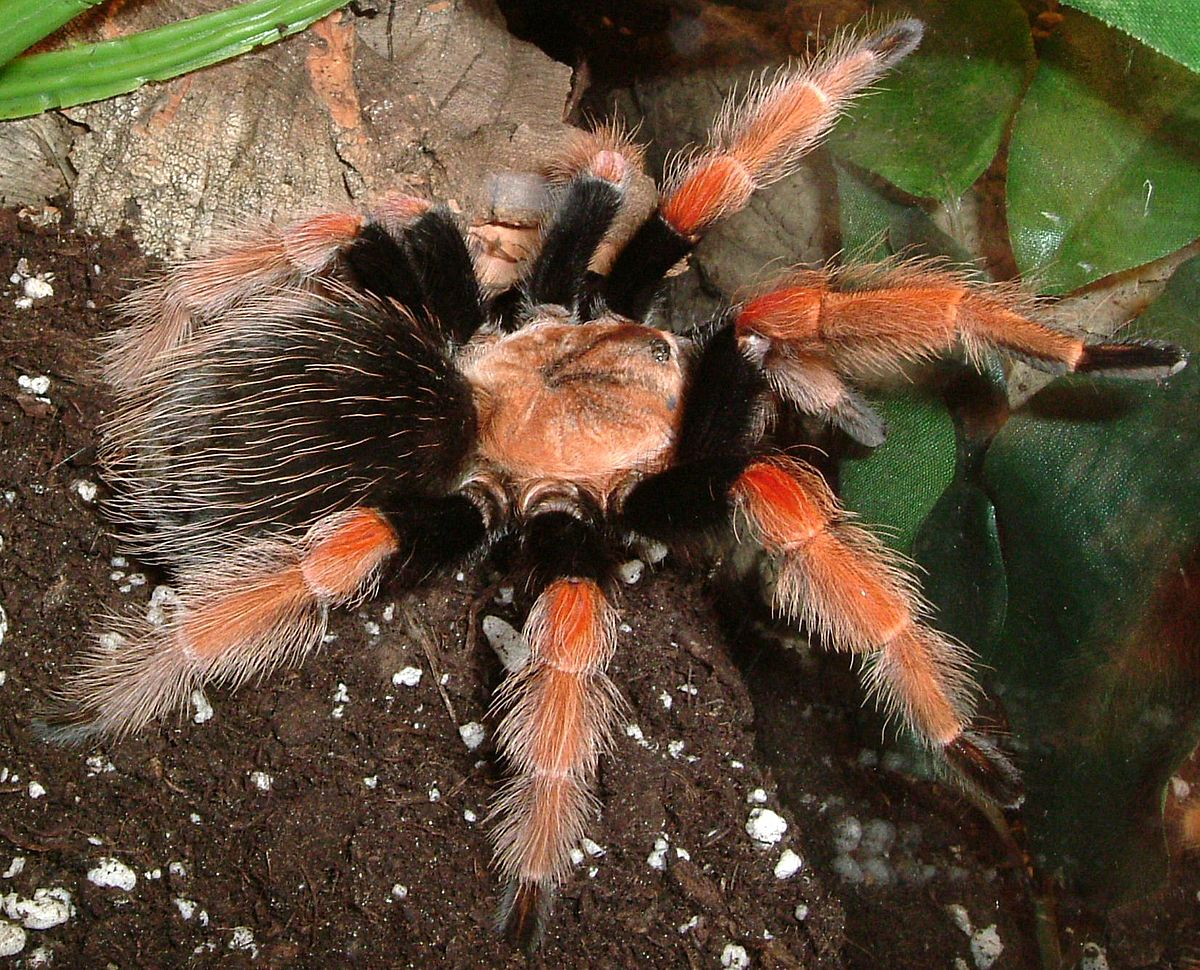 brachypelma boehmei wikipedia. Black Bedroom Furniture Sets. Home Design Ideas