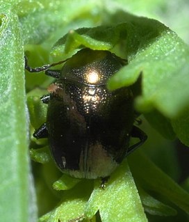 Eumolpini Tribe of leaf beetles