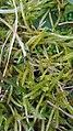 Brachythecium albicans 61628521.jpg