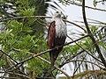 Brahminy kite (Haliastur indus)കൃഷ്ണപ്പരുന്ത് 8.jpg