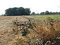 Brambles beside the path - geograph.org.uk - 1536849.jpg