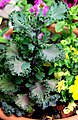 Brassica oleracea var. acephala Flowering Cabbage დეკორატიული კომბოსტო.JPG