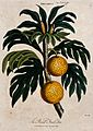 Breadfruit (Artocarpus altilis); fruiting branch. Coloured e Wellcome V0044288.jpg