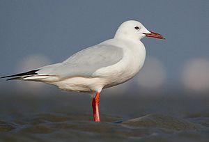 Slender-billed gull - in Breeding plumage at Kutch