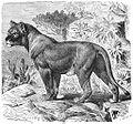Brehms Het Leven der Dieren Zoogdieren Orde 4 Senegal-Leeuwin (Felis leo senegalensis).jpg