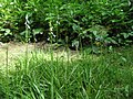 Brimeura amethystina01.jpg