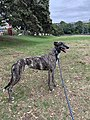 Brindle greyhound, New Zealand.jpg
