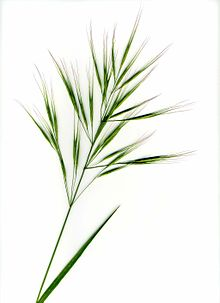 Inflorenscence of a grass with long awns on a white background