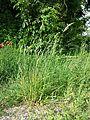 Bromus hordeaceus subsp. hordeaceus sl4.jpg