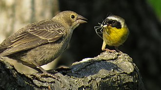 Brown-headed cowbird - Common Yellowthroat feeding juvenile Brown-Headed Cowbird