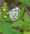 Brown-veined White (Belenois aurota) on Yellow Justicia (Justicia flava) (17148045737).jpg