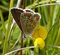 Brown Argus - Flickr - gailhampshire.jpg