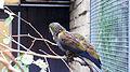 Brown Iory (Chalcopsitta duivenbodei) (2).jpg