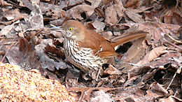 Brown Thrasher-27527