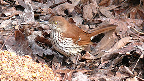Description de l'image Brown Thrasher-27527.jpg.