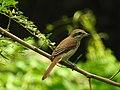 Brown shrike തവിടൻ ഷ്രൈക്ക് (Lanius cristatus).jpg