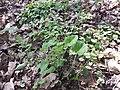 Brunnera macrophylla sl1.jpg