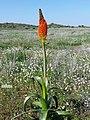 Bulbinella latifolia doleritica 15515358.jpg