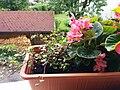 Bumblebee on Begonia x semperflorens-cultorum publicdomain tbf - 18.jpg