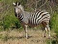 Burchell's Zebra (Equus quagga burchellii) (7031853939).jpg