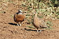 Burchell's sandgrouse, Pterocles burchelli, at Mapungubwe National Park, Limpopo, South Africa (17952385486).jpg