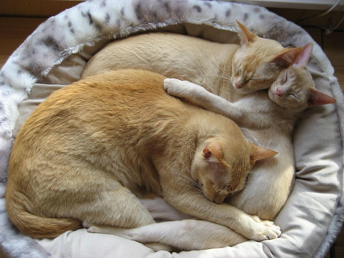 Cama para gatos wikipedia la enciclopedia libre for Cama para gatos