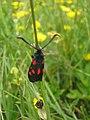 Burnet Moth ( Ectypa glypha) - geograph.org.uk - 1356922.jpg