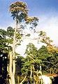 Bursaphelenchus xylophilus on Pinus densiflora, Japan (06).jpg