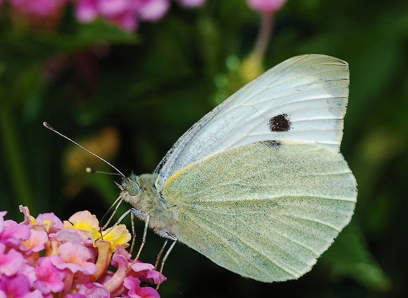 File:Butterfly May 2008-3a.jpg
