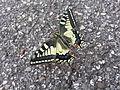 Butterfly farfalla.jpeg