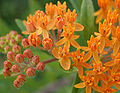 Butteryfly Weed 3 Stages of Bloom 2240px.jpg