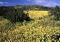 CARRIZO - Flowers above Quail Springs (939604085).jpg