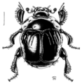 COLE Histeridae Reichardtia pedator.png