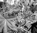 COLLECTIE TROPENMUSEUM Tak van een wonderboom (ricinus communis) bijna in bloei TMnr 10012388.jpg