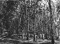 COLLECTIE TROPENMUSEUM Tien jaar oude Hevea rubberaanplant met vigna als grondbedekker op een rubberonderneming te Gadja Meuntah TMnr 60014055.jpg