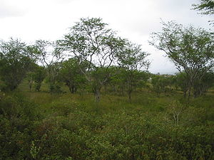 Caatinga - Caatinga during the rainy season.