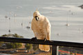Cacatua galerita -Airlie Beach -perching on balcony-8.jpg