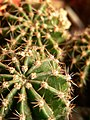 Cactus (35490600).jpeg