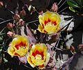 Cactus blooms at TBG.jpg