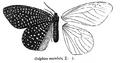 CadphisesMaculata.png