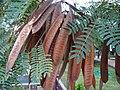 Caesalpinia pulcherrima 0009.jpg
