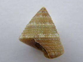 Calliostoma adelae 001.jpg