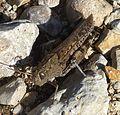 Calliptamus barbarus. - Flickr - gailhampshire (4).jpg